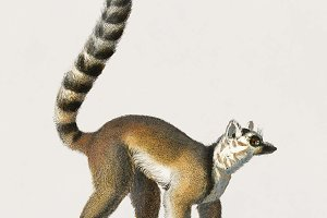 Ring-tailed lemur illustration(PSD)
