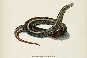 Slug Eater (Homalosoma arctiventris)