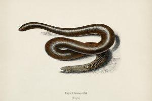 Eryx (Eryx Duvaucelii)