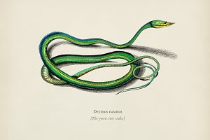 The green vine snake (Dryinus Nasutu
