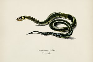 Grass Snake (Tropidonote á Collier)