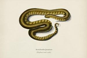 Elephant trunk snake (Acrochordus Ja