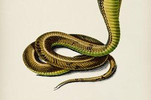 Egyptian Cobra (Naja Hoje)