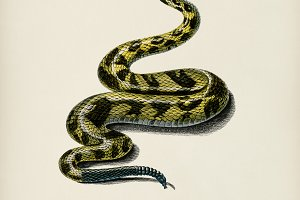 Rattlesnake (Crotale)