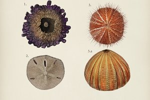 Different types of sea urcnhins