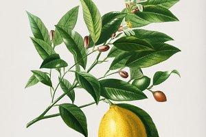 Lemon tree hand drawn (PSD)