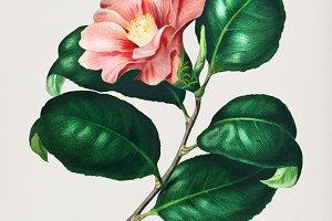 Camellia japonica flower (PSD)