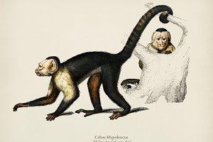 White-headed capuchin (Cebus Hypoleu