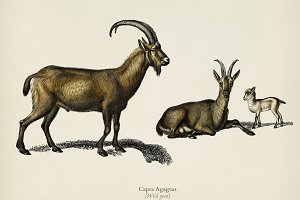 Wild goat (Capra Agagrus)