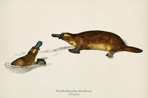 Platypus (Ornithorhynchus Paradoxus)