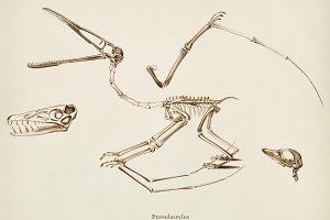 Pterosaur (Pterodactylus)