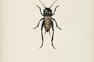 Field crickets (Gryllus campestris)