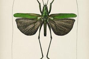 Grasshopper of six points (Locusta s