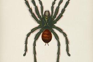 Pinktoe tarantula (Mygalomorphae)