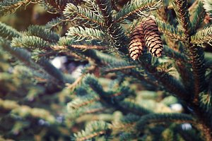 Spruce branches with cones