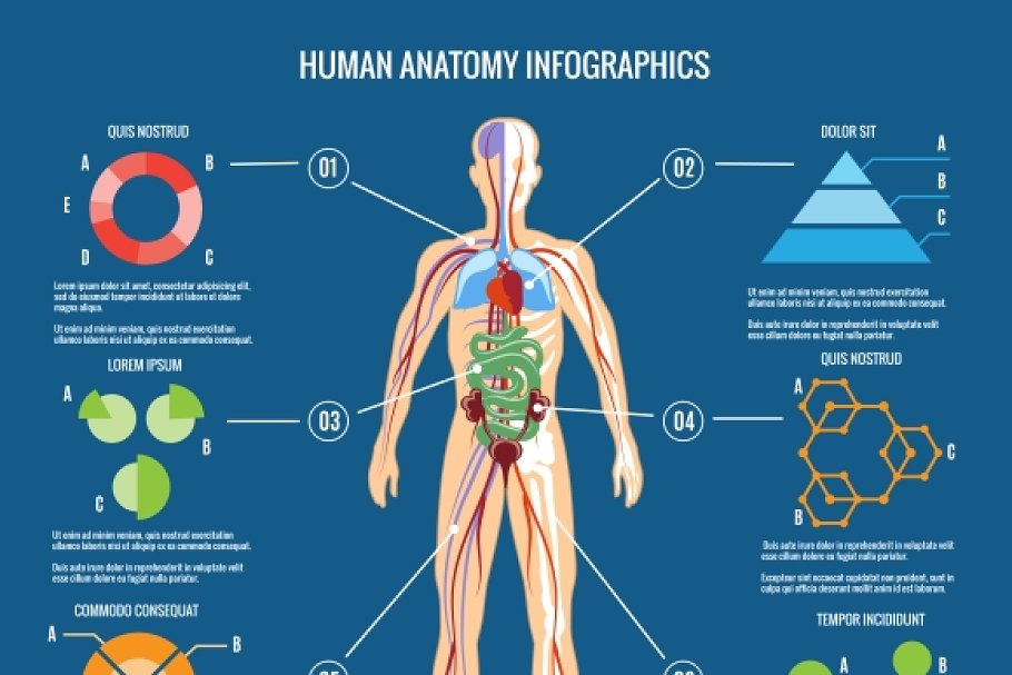 Human Body Anatomy Infographic Graphics Creative Market