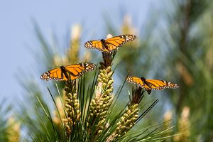 Monarch Butterflies in Migration