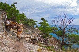 The fallen dead relic pine