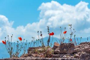 Poppies in ancient Pompeii, Italy.