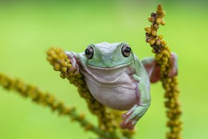 frog, tree frog, dumpy frog, animal,