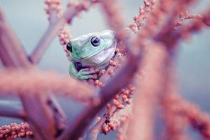 frog, tree frog, animal,