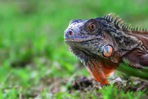iguana, animal, wildlife,