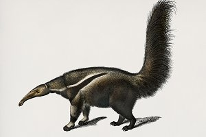 Giant anteater illustration (PSD)