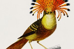 Royal flycatcher illustration (PSD)