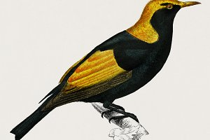 Regent bowerbird illustration (PSD)