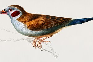 Red-cheeked Cordonbleu (PSD)