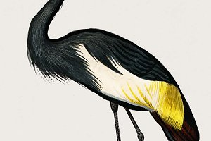 Black crowned crane (PSD)