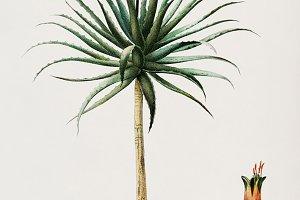 Candelabra aloe plant (PSD)