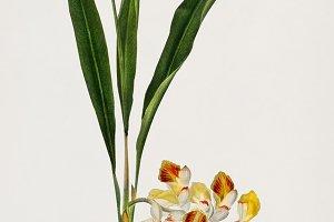 Dwarf cardamom plant (PSD)