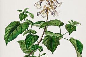 Empress tree plant (PSD)