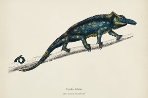 Two-horned chameleon (Furcifer bifid