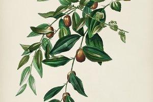 Jujube red date (Ziziphus vulgaris)
