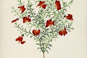 Red leschenaultia (Lechenaultia form