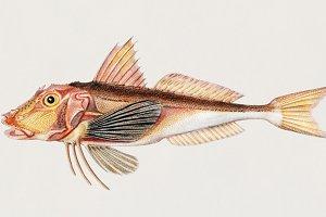Chelidonichthys lucerna (PSD)