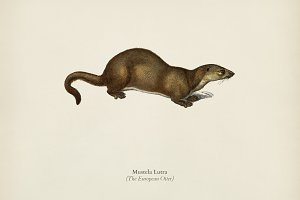 The European Otter (Mustela Lutra)