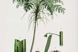 Trichipteris excelsa plant (PSD)