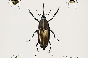 Illustration types of weevils (PSD)