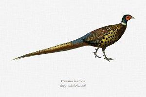 Ring-neckrd pheasant (Phasianus colc