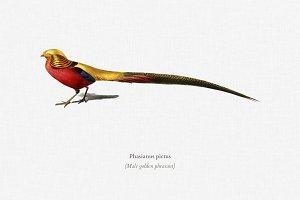 Male golden pheasant (Phasianus pict