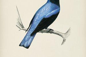 Square-tailed drongo (Edoius caerule