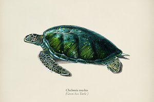 Green Sea Turtle (Chelonia mydus)