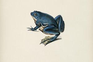 Shrinking frog (Pseudis Merianae)