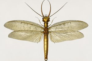 Illustration Eastern dobsonfly (PSD)