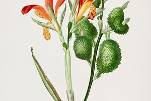 Anna speciosa plant (PSD)