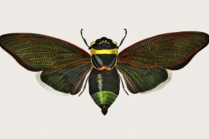 Illustration of Gian cicada (PSD)