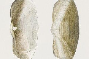 Anatina mollusk hand drawn (PSD)